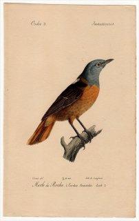1820年 Temminck 鳥類学マニュアル ヒタキ科 イソヒヨドリ属 コシジロイソヒヨドリ Turdus Saxatilis