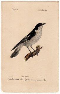 1820年 Temminck 鳥類学マニュアル ヒタキ科 キビタキ属 マダラヒタキ Muscicapa Luctuosa