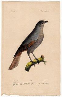 1820年 Temminck 鳥類学マニュアル カラス科 アカオカケス属 アカオカケス Corvus infaustus