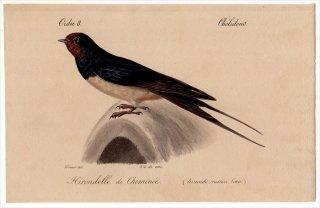 1820年 Temminck 鳥類学マニュアル ツバメ科 ツバメ属 ツバメ Hirundo rustica