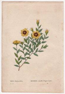 1828年 Redoute Les Roses バラ科 バラ属 ROSA Berberifolia
