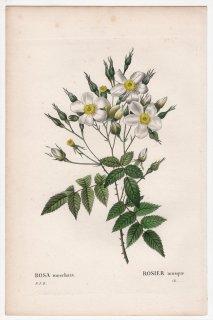 1828年 Redoute Les Roses バラ科 バラ属 ROSA moschata