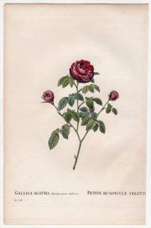 1828年 Redoute Les Roses バラ科 バラ属 GALLICA AGATHA