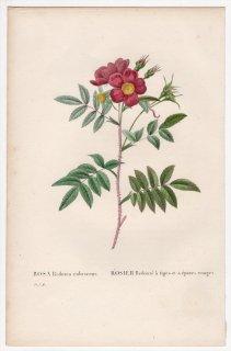 1828年 Redoute Les Roses バラ科 バラ属 ROSA Redutea rubescens