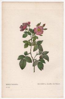 1828年 Redoute Les Roses バラ科 バラ属 ROSA Rubifolia