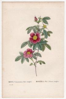 1828年 Redoute Les Roses バラ科 バラ属 ROSA Cinnamomea flore simplici