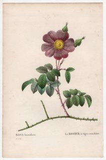 1828年 Redoute Les Roses バラ科 バラ属 ROSA humifusa