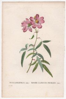 1828年 Redoute Les Roses バラ科 バラ属 ROSA LONGIFOLIA