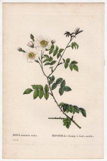 1828年 Redoute Les Roses バラ科 バラ属 ROSA arvensis ovata