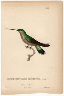 1829年 Lesson ハチドリの自然史 Pl.8 ハチドリ科 シロメジリハチドリ属 ルリノドシロメジリハチドリ 雌