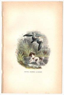 1894年 Sharpe Birds of Great Britain サギ科 アオサギ ウォーター・スパニエル WATER SPANIEL & HERON