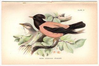1894年 Sharpe Birds of Great Britain Pl.4 ムクドリ科 ムクドリ属 バライロムクドリ ROSE COLOURED STARLING
