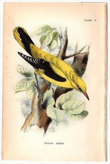 1894年 Sharpe Birds of Great Britain Pl.5 コウライウグイス科 コウライウグイス属 ニシコウライウグイス GOLDEN ORIOLE