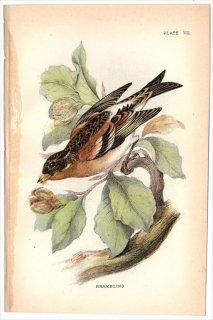 1894年 Sharpe Birds of Great Britain Pl.7 アトリ科 アトリ属 アトリ BRAMBLING