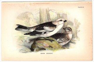 1894年 Sharpe Birds of Great Britain Pl.11 ツメナガホオジロ科 ユキホオジロ属 ユキホオジロ SNOW BUNTING