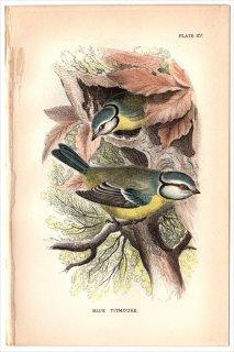 1894年 Sharpe Birds of Great Britain Pl.15 シジュウカラ科 シジュウカラ属 アオガラ BLUE TITMOUSE