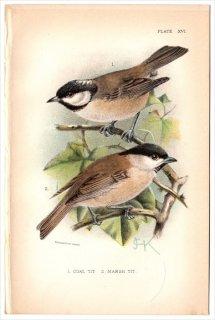 1894年 Sharpe Birds of Great Britain Pl.16 シジュウカラ科 シジュウカラ属 ヒガラ COAL TIT コガラ属 ハシブトガラ MARSH TIT