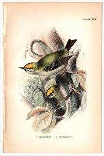 1894年 Sharpe Birds of Great Britain Pl.17 キクイタダキ科 キクイタダキ属 キクイタダキ GOLDCREST マミジロキクイタダキ FIRECREST