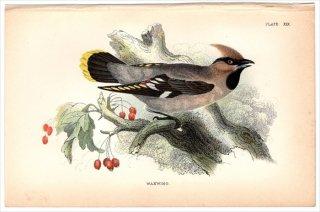 1894年 Sharpe Birds of Great Britain Pl.19 レンジャク科 レンジャク属 ヒメレンジャク WAXWING