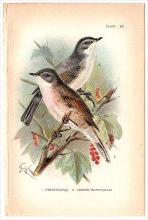 1894年 Sharpe Birds of Great Britain Pl.20 ダルマエナガ科 ズグロムシクイ属 ノドジロムシクイ コノドジロムシクイ