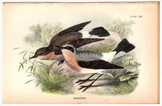 1894年 Sharpe Birds of Great Britain Pl.25 ヒタキ科 サバクヒタキ属 ハシグロヒタキ WHEATEAR