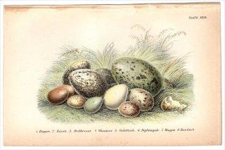 1894年 Sharpe Birds of Great Britain Pl.29 ムナジロカワガラス ワタリガラス ヨーロッパコマドリ ハシグロヒタキ ゴシキヒワなど8種 卵