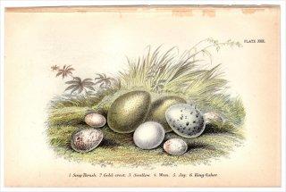 1894年 Sharpe Birds of Great Britain Pl.30 ウタツグミ キクイタダキ ツバメ ミソサザイ カケス カワセミ 卵