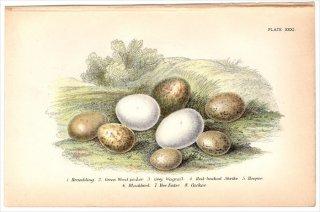 1894年 Sharpe Birds of Great Britain Pl.31 アトリ ヨーロッパアオゲラ キセキレイ セアカモズ ヤツガシラ クロウタドリ カッコウなど8種 卵