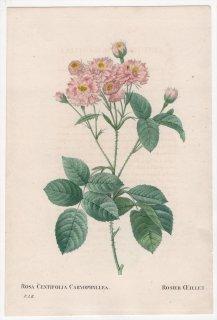 1828年 Redoute Les Roses バラ科 バラ属 ROSA CENTIFOLIA CARYOPHYLLEA