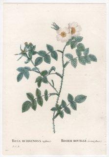 1828年 Redoute Les Roses バラ科 バラ属 ROSA RUBIGINOSA triflora