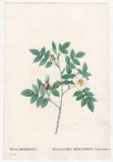 1828年 Redoute Les Roses バラ科 バラ属 ROSA BISERRATA