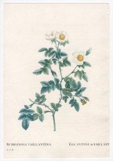 1828年 Redoute Les Roses バラ科 バラ属 ROSA RUBIGINOSA VAILLANTINA