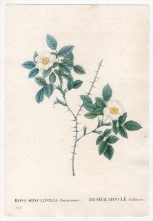 1828年 Redoute Les Roses バラ科 バラ属 ROSA SPINULIFOLIA Dematratiana