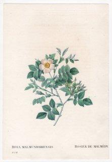 1828年 Redoute Les Roses バラ科 バラ属 ROSA MALMUNDARIENSIS