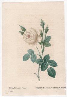 1828年 Redoute Les Roses バラ科 バラ属 ROSA MUSCOSA ALBA