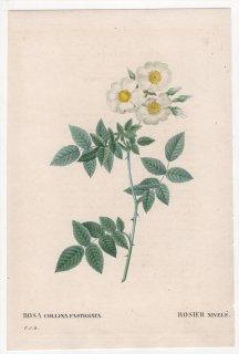 1828年 Redoute Les Roses バラ科 バラ属 ROSA COLLINA FASTIGIATA