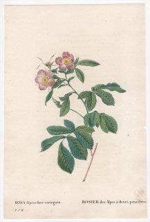 1828年 Redoute Les Roses バラ科 バラ属 ROSA Alpina flore variegato
