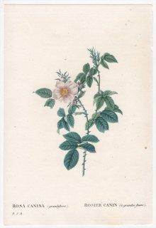 1828年 Redoute Les Roses バラ科 バラ属 ROSA CANINA grandiflora