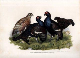 1864年 Fitzinger Bilder Atlas Fig.243 キジ科 リルルス属 クロライチョウ Tetrao tetrix