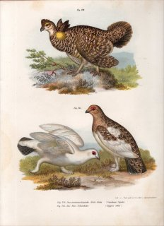 1864年 Fitzinger Bilder Atlas Fig.244 キジ科 ソウゲンライチョウ属 ソウゲンライチョウ Fig.245 キジ科 ライチョウ属 カラフトライチョウ