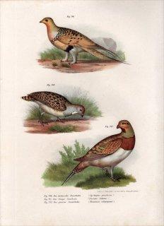 1864年 Fitzinger Bilder Atlas Fig.246 サケイ科 サケイ Fig.247 サケイ科 シロハラサケイ Fig.248 ヒバリチドリ科 ノドジロヒバリチドリ