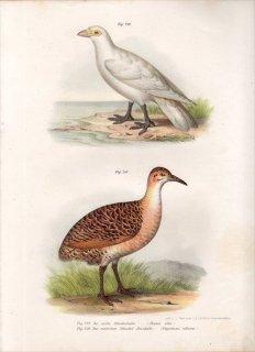 1864年 Fitzinger Bilder Atlas Fig.249 サヤハシチドリ科 サヤハシチドリ Fig.250 シギダチョウ科 アカバネシギダチョウ
