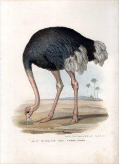 1864年 Fitzinger Bilder Atlas Fig.251 ダチョウ科 ダチョウ属 ダチョウ Struthio camelus