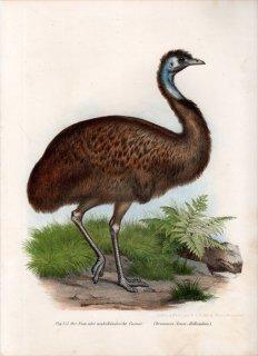 1864年 Fitzinger Bilder Atlas Fig.253 ヒクイドリ科 エミュー属 エミュー Dromaius novaehollandiae