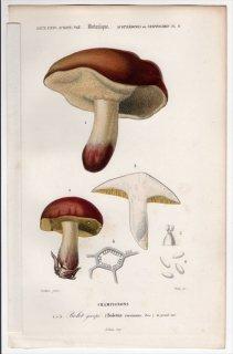 1849年 D'Orbigny 万有博物事典 Pl.8 イグチ科 ヤマドリタケ属 Boletus circinans