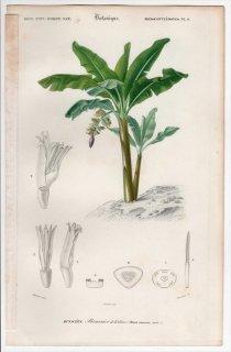 1849年 D'Orbigny 万有博物事典 Pl.6 バショウ科 バショウ属 マレーヤマバショウ Musa chinensis