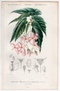 1849年 D'Orbigny 万有博物事典 Pl.25 シュウカイドウ科 シュウカイドウ属 Begonia incarnata