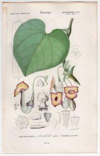 1849年 D'Orbigny 万有博物事典 Pl.1 ウマノスズクサ科 ウマノスズクサ属 Aristolochia sipho