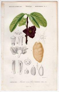 1849年 D'Orbigny 万有博物事典 Pl.2 バンレイシ科 ポポー属 ポポー Asimina triloba