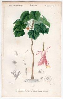 1849年 D'Orbigny 万有博物事典 Pl.17 アオイ科 ドンベヤ属 Astrapoea wallichii